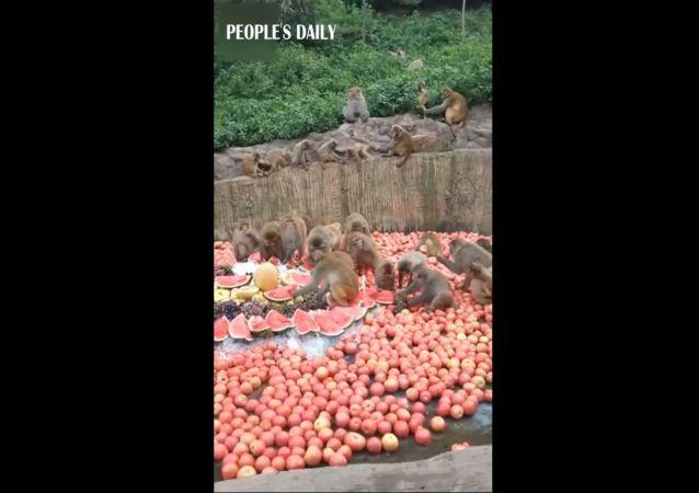 Paradis comestible : en Chine, les singes d'un zoo se rafraîchissent grâce à des fruits frais