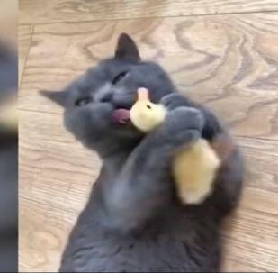Un chat lèche un petit canard