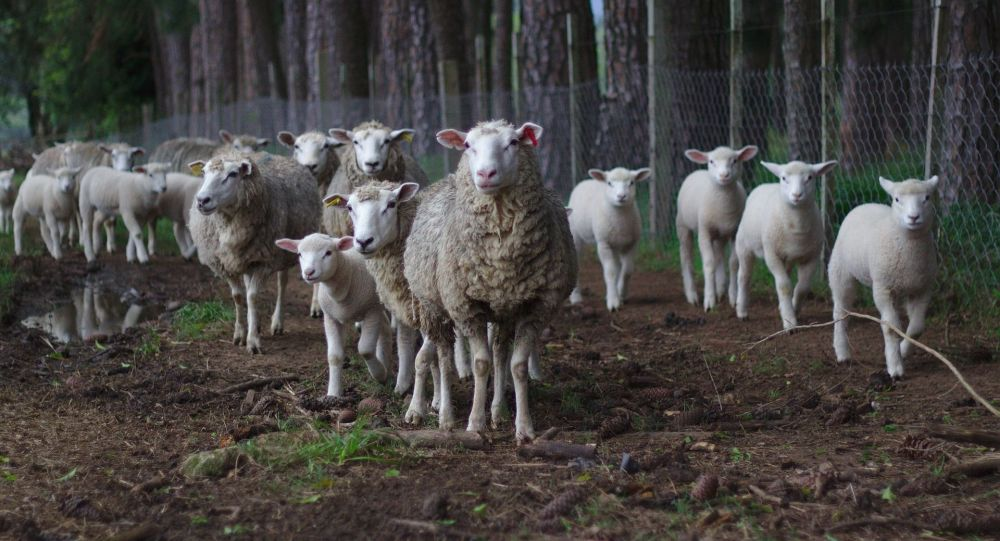 Des moutons / image d'illustration
