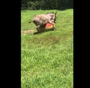 Joue-la comme Beckham: Cet âne peut dribbler n'importe quel footballeur