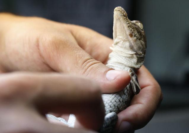 Des centaines de crocodiles du sud de la Floride se sont installés dans les canaux qui entourent une centrale nucléaire.