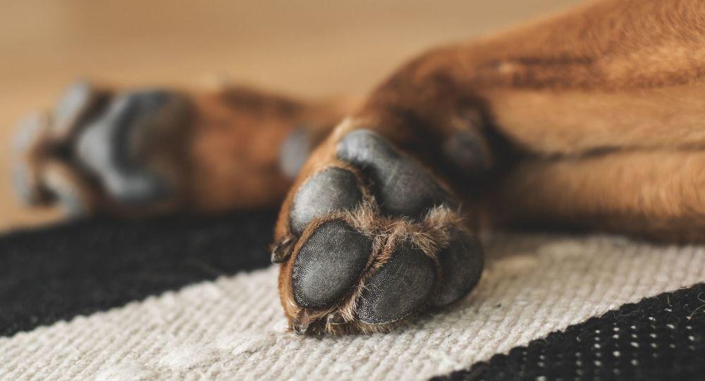 pattes du chien