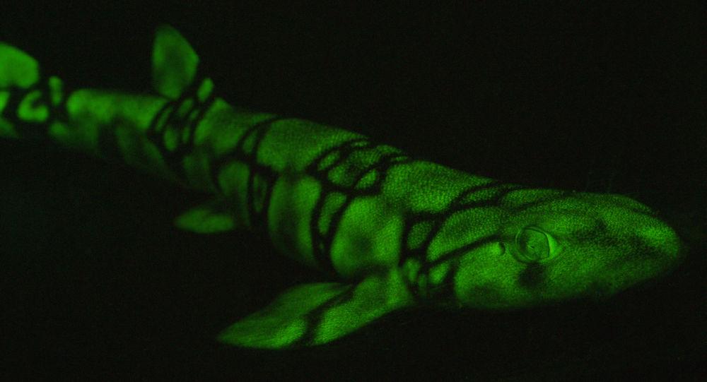 Un requin fluorescent