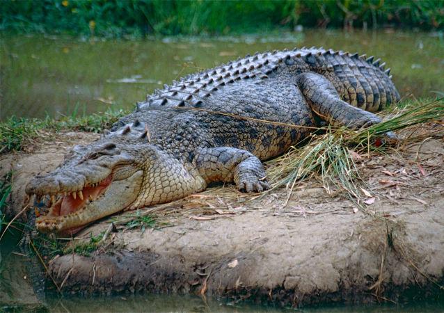 Un crocodile marin (image d'illustration)