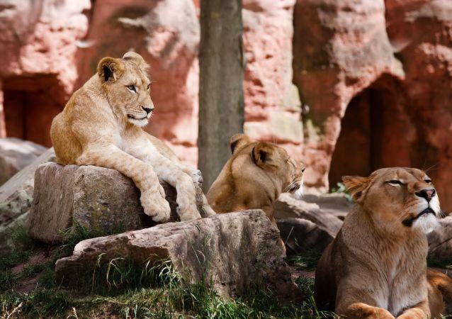 Des lionnes (image d'illustration)