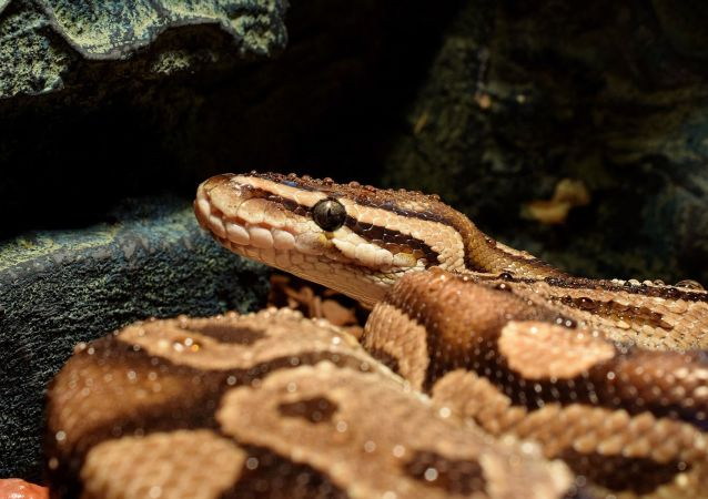 un python (image d'illustration)
