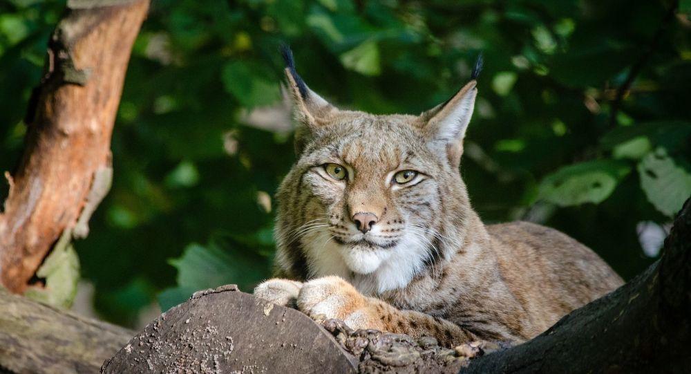 Lynx (image d'illustration)