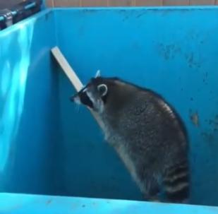 Un raton laveur ingénieux montre comment sortir d'un piège