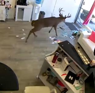 Un cerf passe chez le coiffeur