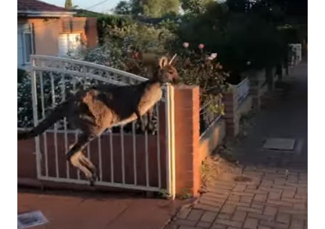 Un kangourou sort en courant sur la chaussée