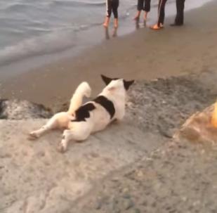 Regardez comment je descends: un chien s'est trouvé une méthode originale pour se gratter le ventre
