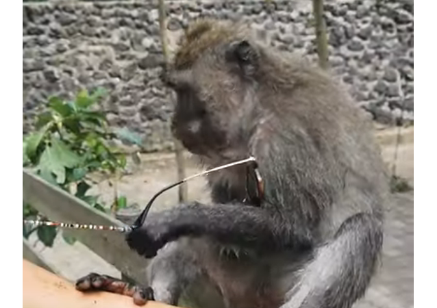 À Bali, un singe voleur laisse une touriste sans lunettes
