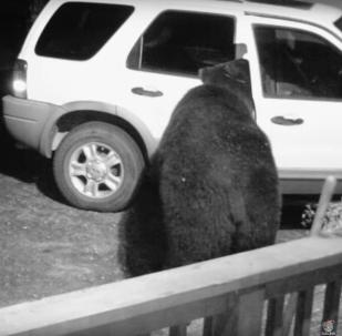 Un ours ouvre la portière d'une voiture en quête de nourriture
