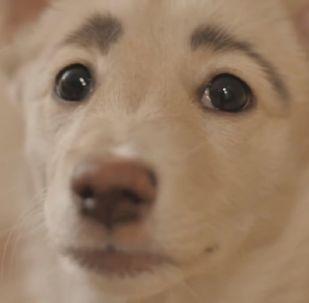 Сe chien a des sourcils humains
