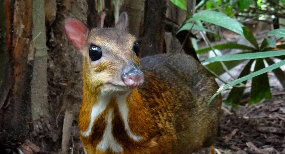 Cet animal porté disparu depuis 30 ans refait surface — Souris-cerf