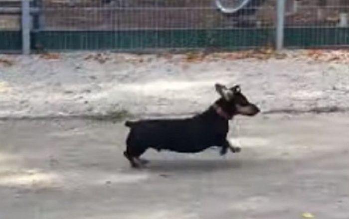 Une pie bagarreuse harcèle un chien