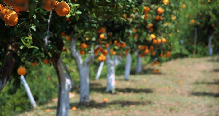 Des orangers sur la Crète, Grèce