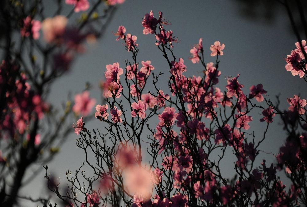 Premières fleurs dans la région du Baïkal