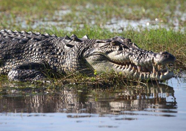 Ce retraité qui a survécu à une bataille avec des crocodiles