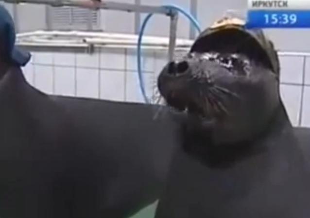 Deux phoques de Sibérie prêts à participer au défilé de la Victoire