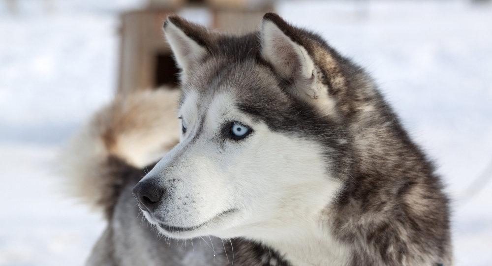 Un projet révolutionnaire: les enfants handicapés empruntent «le chemin des huskies»
