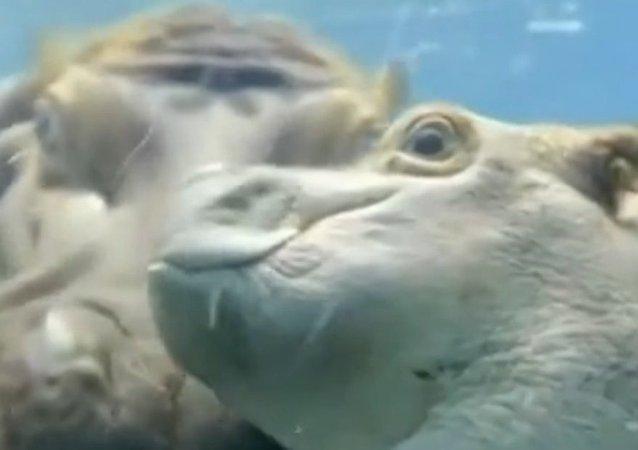 Un bébé hippopotame fait une baignade