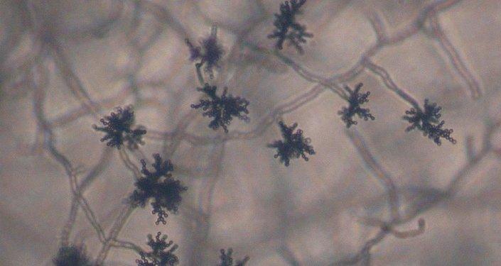 Cladosporium sp conidia
