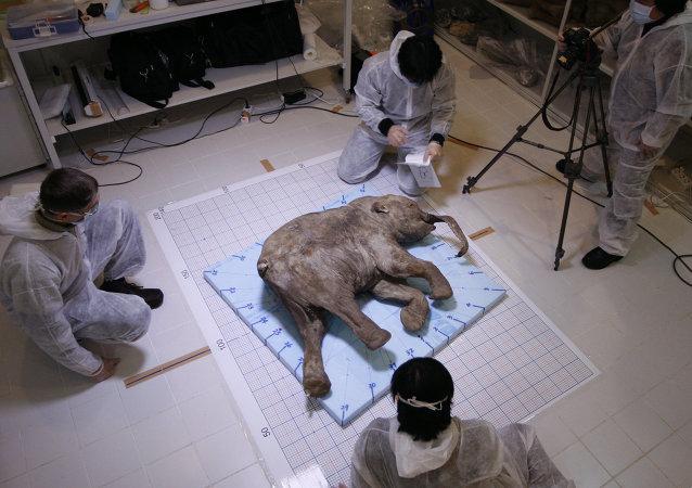 Sibérie: il y a 32.000 ans, l'anthrax tuait déjà les mammouths