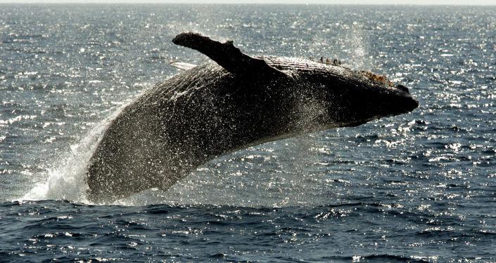 Quand une baleine à bosse se prend pour un dauphin et cartonne sur Internet (vidéo)
