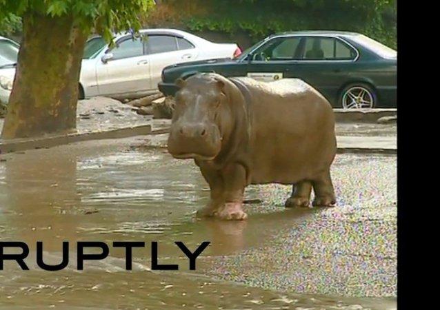 Un hippopotame en cavale rattrapé à Tbilissi