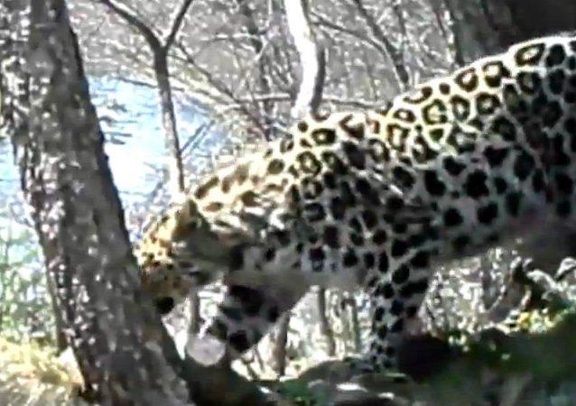 Une femelle léopard danse