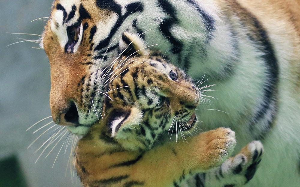En mai, une tigresse de Sibérie a donné naissance à deux petits dans le zoo da la ville tchèque d'Olomouc