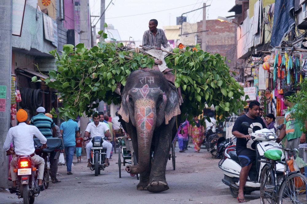Les protecteurs des animaux constatent que le nombre d'éléphants dans la ville indienne d'Amritsar  a diminué