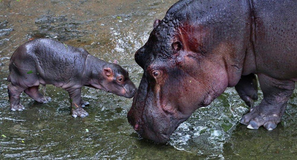Une femelle d'hippopotame de 8 ans a donné la vie à un bébé le 28 juin au zoo de Cavery (Bangalore, Inde)