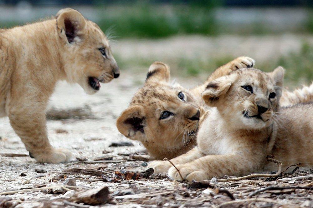 Trois lionceaux, nouveaux résidents du zoo français du Bois de Vincennes, ont été présentés aux visiteurs. Atlas, Kibo et Shani sont nés le 22 avril dans la famille de Néro et Aswade