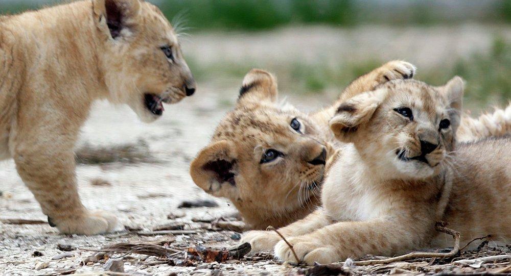 les lions en danger
