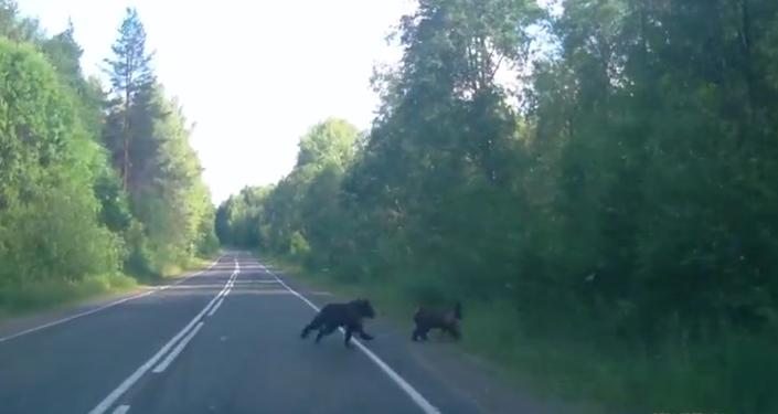 Des ours piétons
