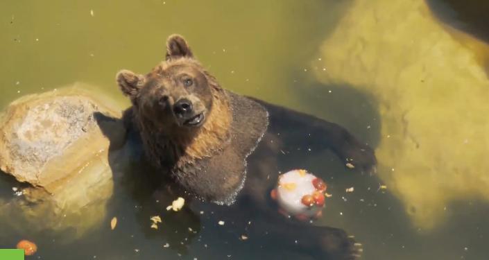 Italie: face à la chaleur, les habitants du zoo de Rome s'empiffrent de glaces et de pastèques