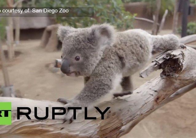 Un jouet pour un petit koala