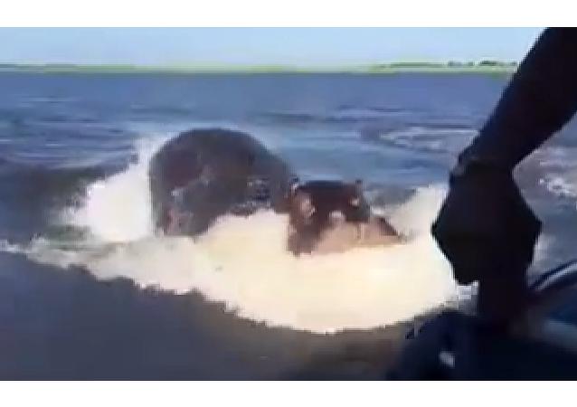 Un hippopotame attaque un bateau moteur
