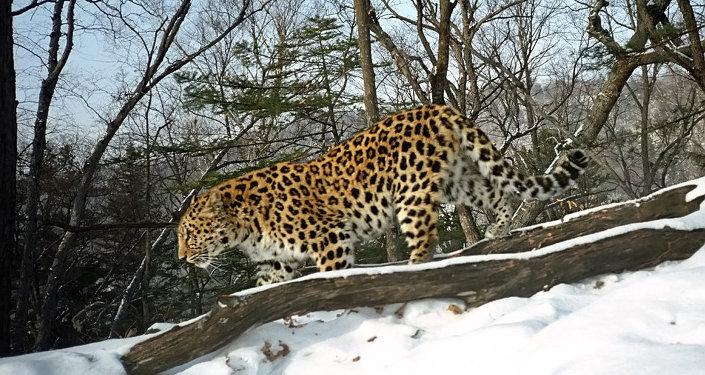 Un léopard de l'Extrême-Orient