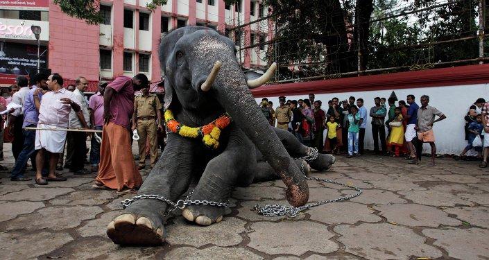 Eléphant enchaîné