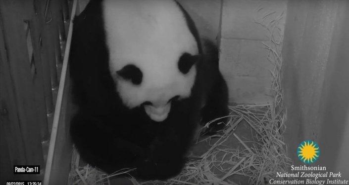 Un panda géant accouche après une fécondation in vitro