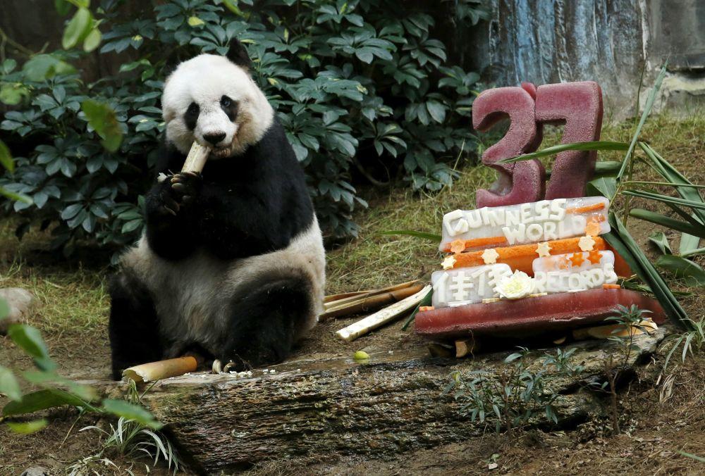 La femelle panda Jia Jia