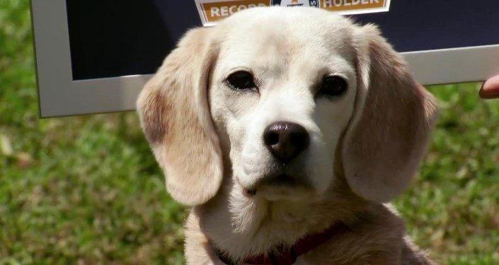 Le beagle Purin