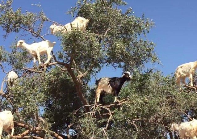 Des arbres à chèvres