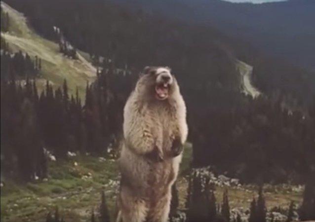 Une marmotte crieuse