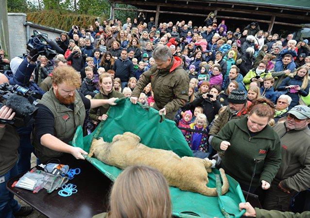 Dissection d'un lion à Odense