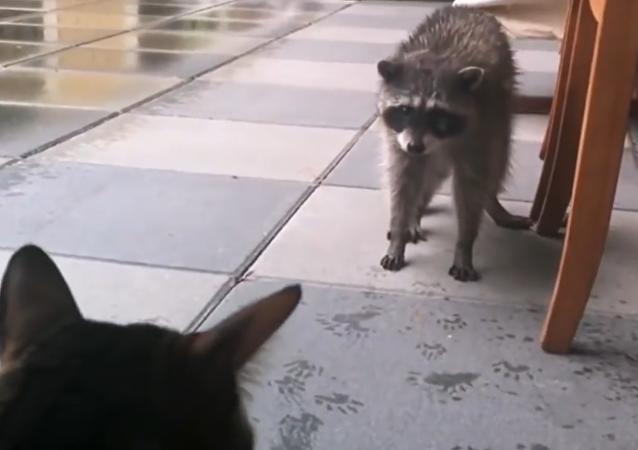 Raton laveur aux prises avec des chats