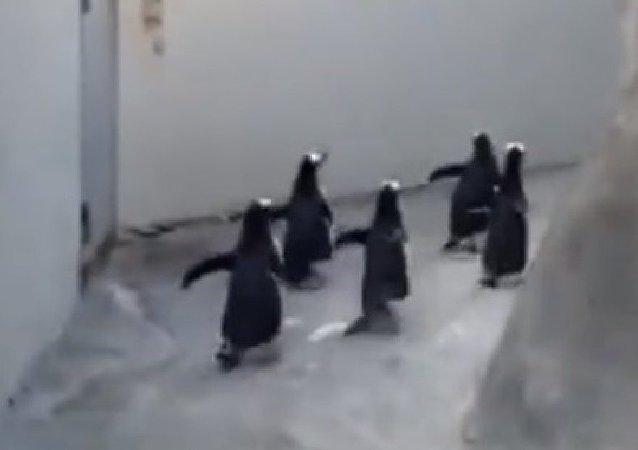 Evasion des pingouins d'un zoo danois